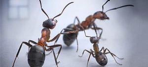 17847-ants_590_b