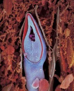 Η κεφαλή του σπερματοζωάριου περιέχει όλο το γενετικό υλικό.