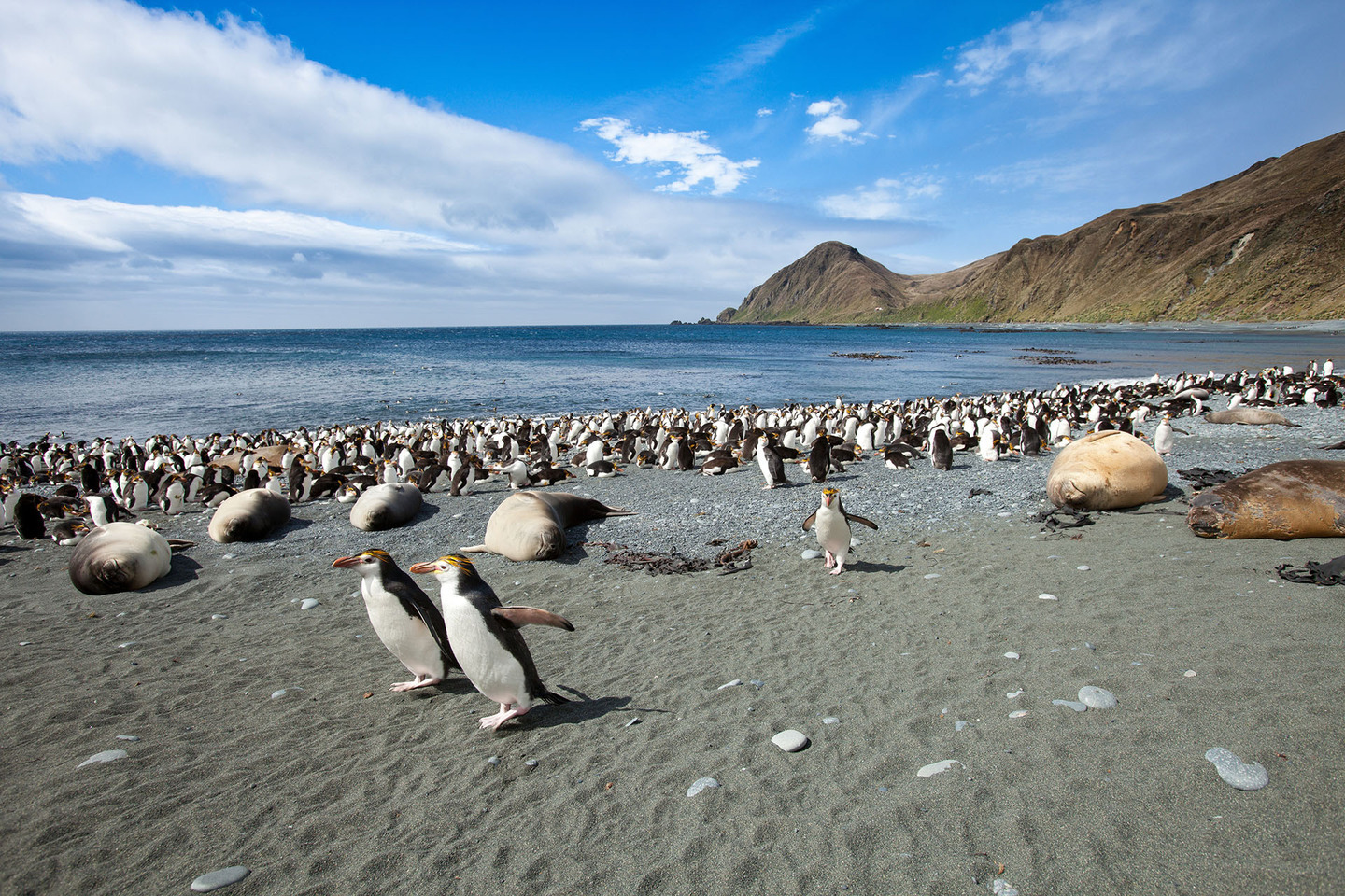Royal penguins and Southern elephant seals at Sandy Bay on Macquarie Island