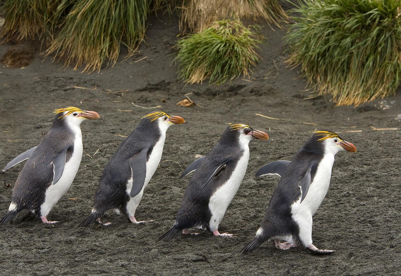 Royal Penguin (Eudyptes schlegeli) group walking, Macquarie Island, Australia