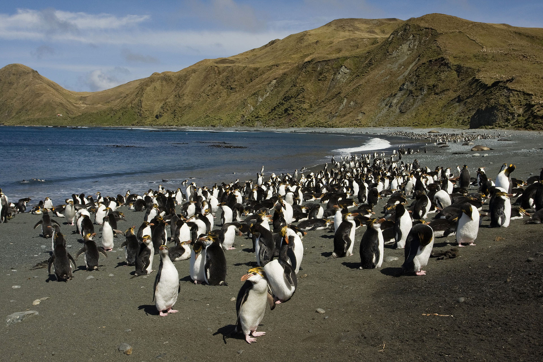 Royal Penguin (Eudyptes schlegeli) colony on beach, Macquarie Island, Australia