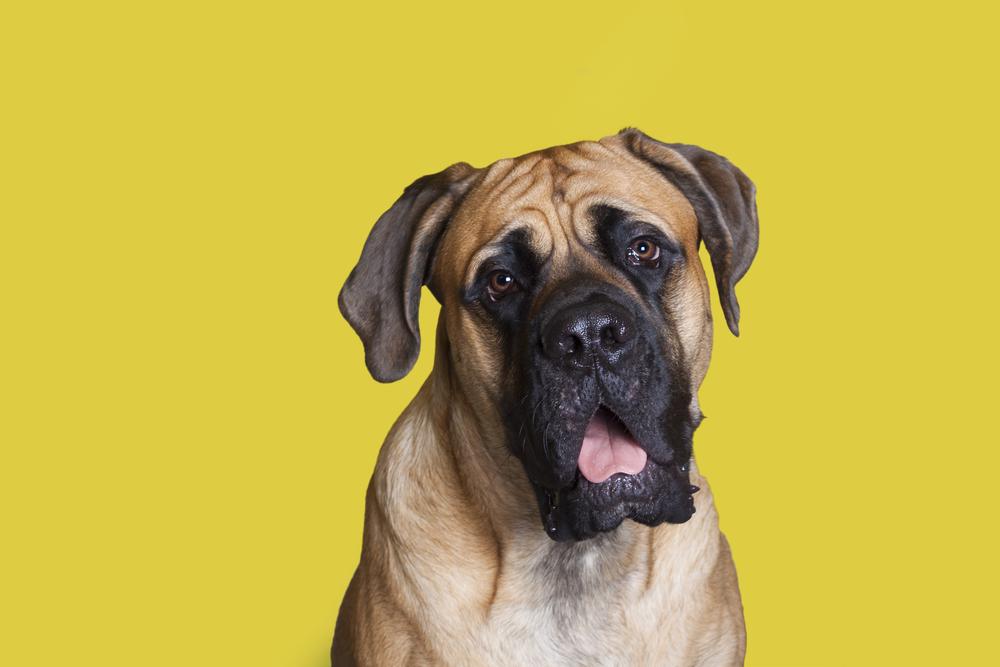 #2 – Mastiff