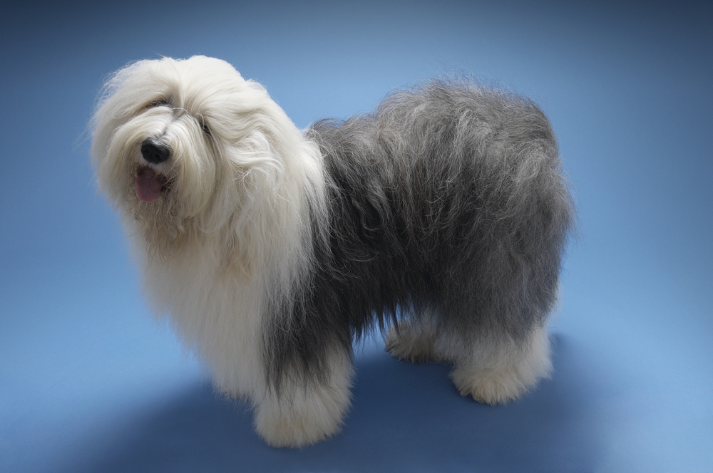 #3 – Old English Sheepdog