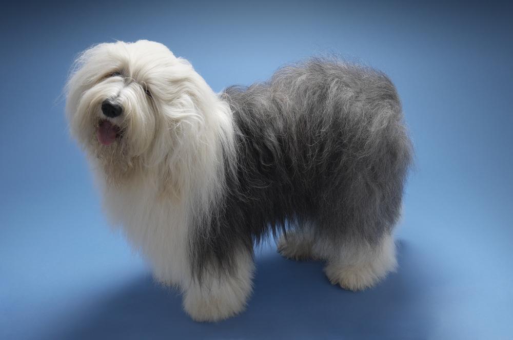 #3 – Old English Sheepdog