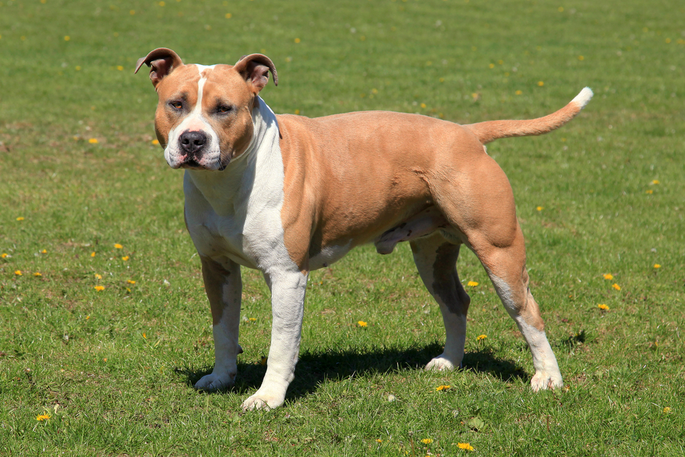 #8 – American Staffordshire Terrier