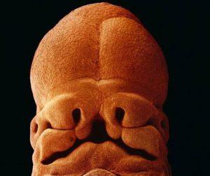 Στις πέντε εβδομάδες, το έμβρυο είναι 9 χιλιοστά σε μήκος. Είναι ήδη δυνατό να διακρίνουμε το μέρος που θα γίνει το πρόσωπο, η μύτη,τα ρουθούνια και τα μάτια